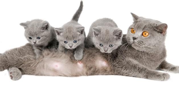 ведение беременности у кошек