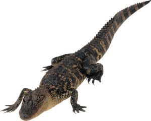 Лечение крокодилов